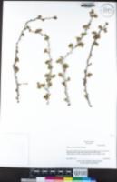 Ribes lasianthum image