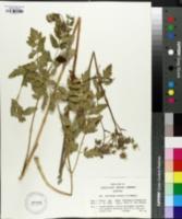 Image of Peucedanum cervaria