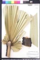 Borassus flabellifer image
