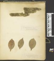 Sphaeria andromedarum image