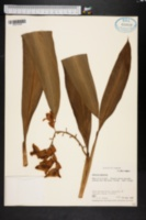 Alpinia speciosa image