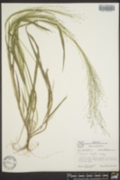 Panicum havardii image