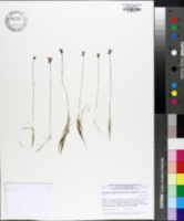 Image of Utricularia resupinata