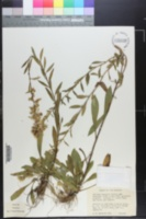 Solidago roanensis image