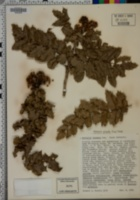 Berberis pinnata image