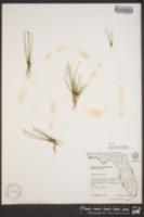 Eleocharis nigrescens image