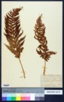 Image of Aspidium rigidum