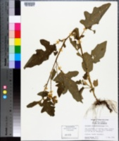 Solanum sisymbriifolium image
