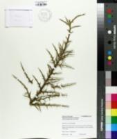 Image of Euphorbia stenoclada