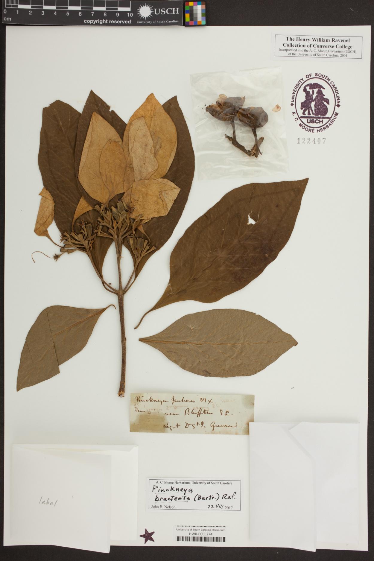 Pinckneya bracteata image