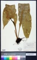 Image of Campyloneurum brevifolium