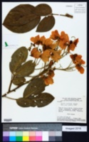 Image of Cassia speciosa