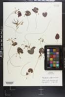 Nymphoides cordata image