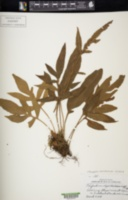 Image of Pleopeltis bradeorum