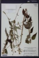 Helianthus × glaucus image