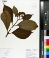 Image of Dichroa versicolor
