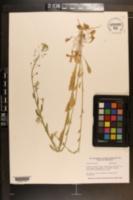 Thlaspi alliaceum image