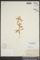 Phlox drummondii subsp. mcallisteri image