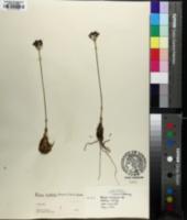 Allium tricoccum var. burdickii image