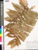Image of Sphaeropteris insignis