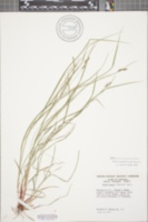 Carex swanii image