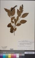 Image of Citharexylum bourgeauanum