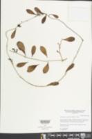 Struthanthus cassythoides image