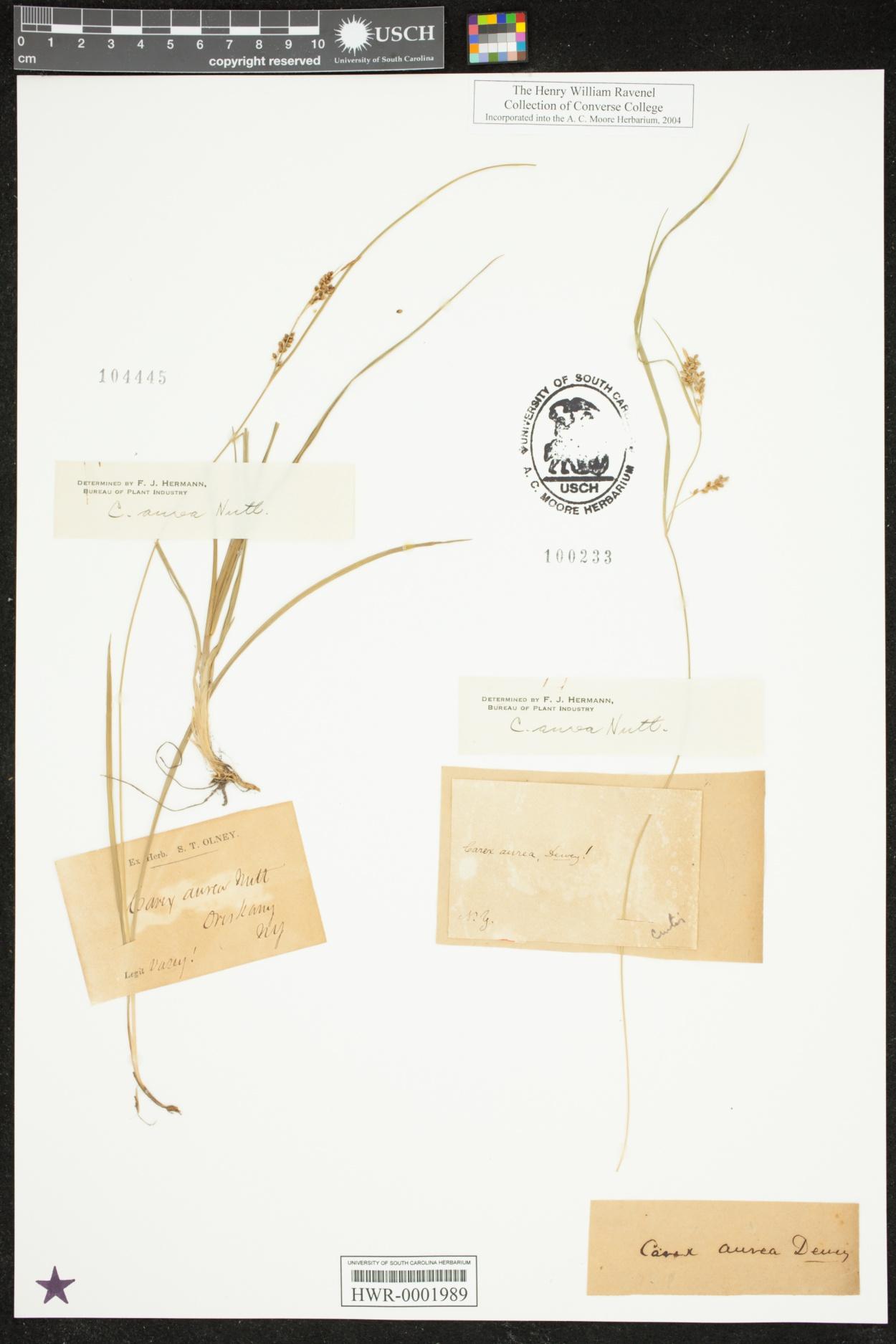 Carex aurea