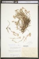 Paronychia argyrocoma image