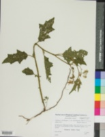 Solanum carolinense var. floridanum image