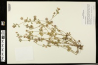 Trifolium resupinatum image