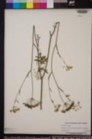 Pimpinella saxifraga image