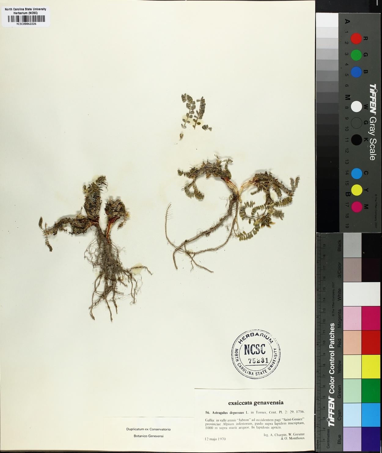 Astragalus depressus image