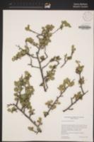 Colubrina viridis image