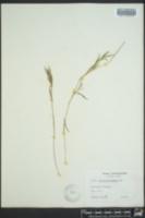 Dichanthelium acuminatum subsp. leucothrix image