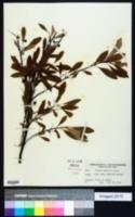Prunus depressa image