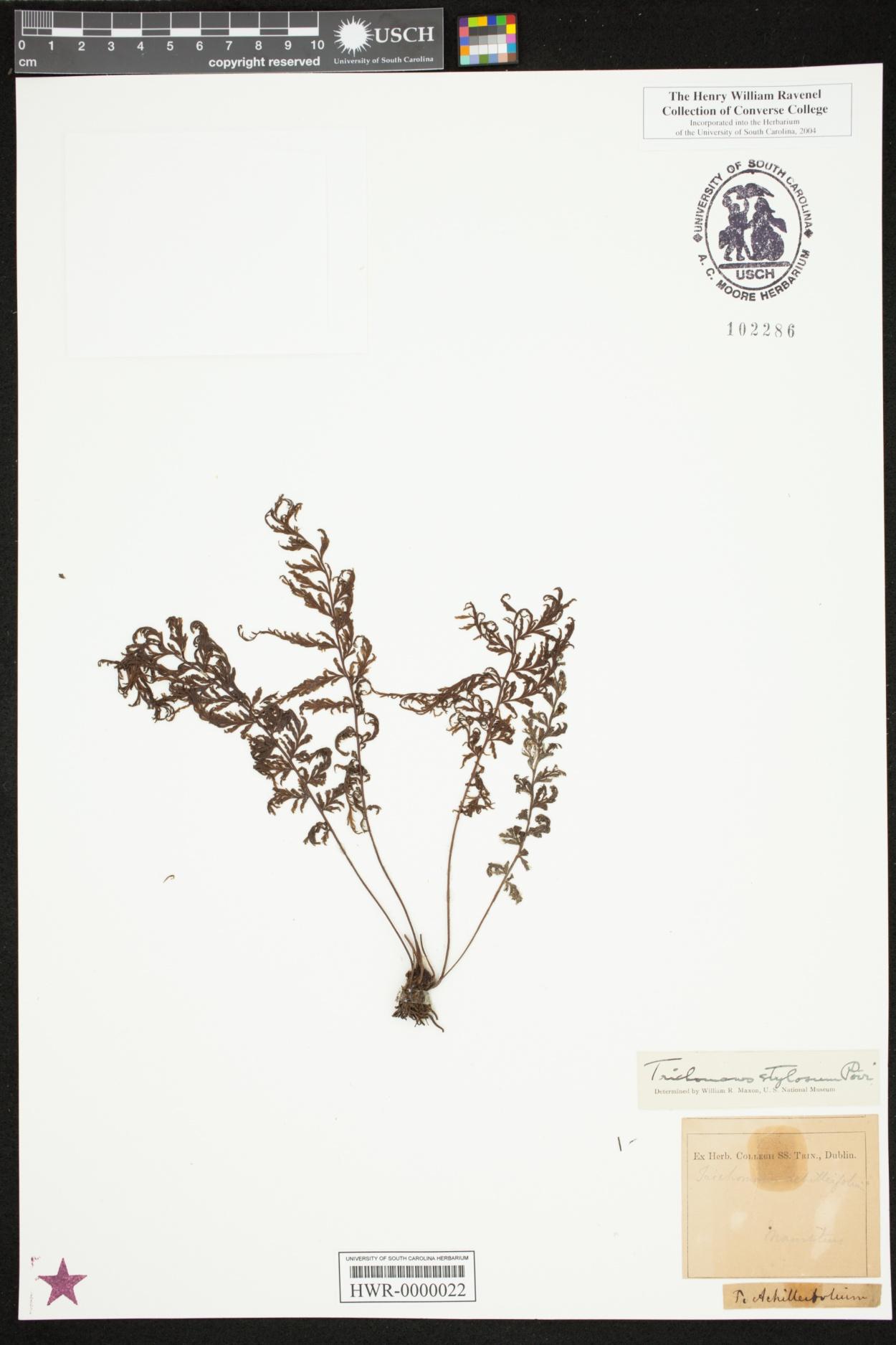 Abrodictyum image