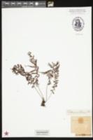 Image of Abrodictyum stylosum