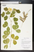 Crotalaria pallida image