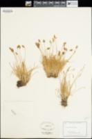 Carex pyrenaica image