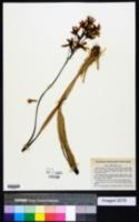 Cattleya crispata image