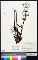 Image of Brachyotum strigosum