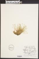 Eleocharis flavescens image