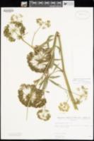 Cicuta maculata var. angustifolia image
