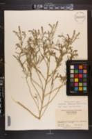 Lepidium africanum image