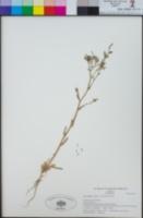 Gilia diegensis image