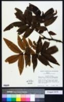 Image of Carya palmeri