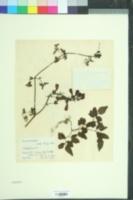 Image of Eccremocarpus scaber