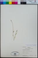 Image of Chiropetalum tricuspidatum