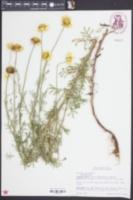 Cota tinctoria image